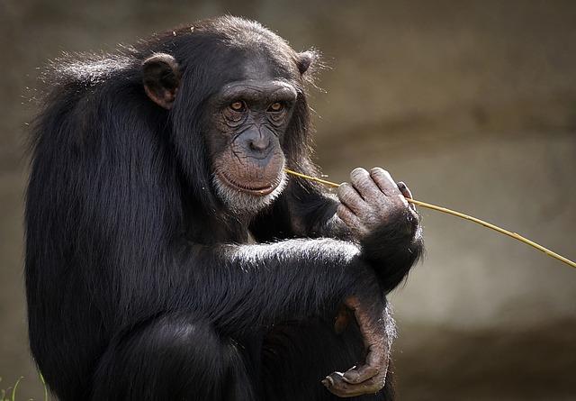 sedící šimpanz
